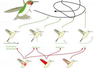 How to fly like a kolibri?