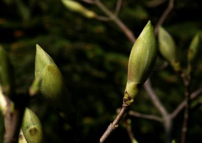 Berg-Ahorn (Acer pseudoplatanus, Brocken)