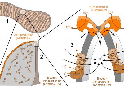 Räumliche Anordnung der Atmungskette