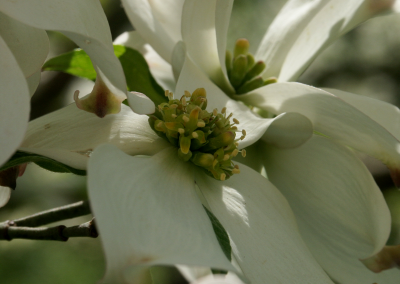 Dogwood (Cornus florida, Missouri, USA)