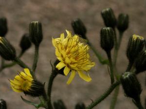 Unbekanntes Habichtskraut (Hieracium sp., Brocken)