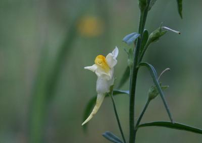 Leinkraut (Linaria vulgaris, Brocken)