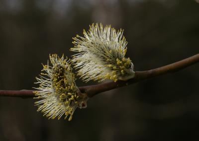 Sal-Weide (Salix caprea, Brocken)