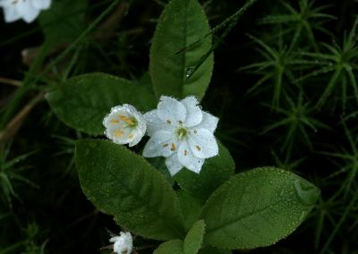 Europäischer Siebenstern (Trientalis europaea, Brocken)